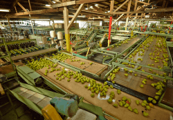 California Pear Shipments to Get Normal Start in Early July