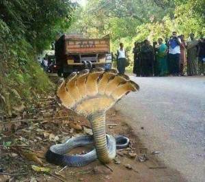 7-headed cobra, Photoshopped