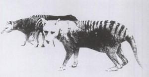 800px-Thylacine_pouch