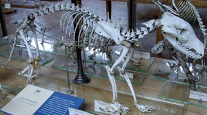 800px-Thylacinus_cynocephalus