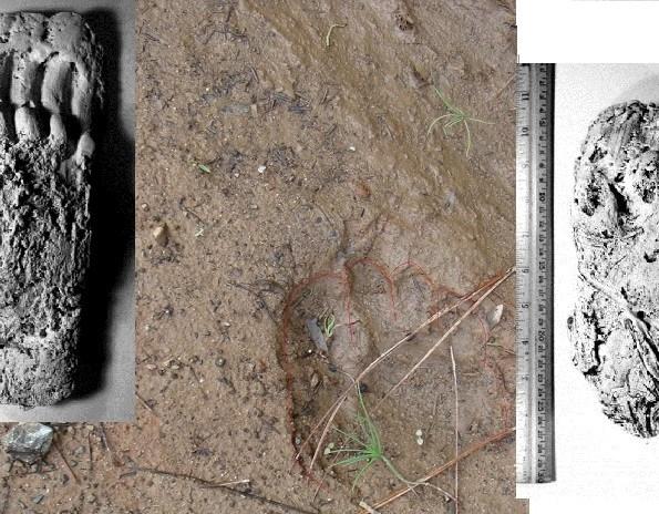 Australian Ape Project: Footprints and Site Comparisons