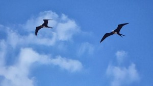 Magnificent frigate birds, David Adam Kess-Wikipedia