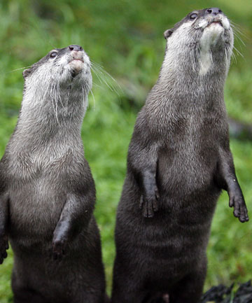 New Zealand Otters