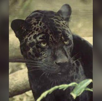 New Zealand South Island Panther