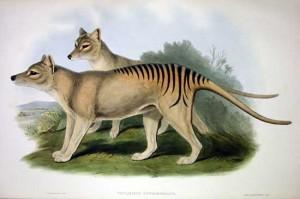 Thylacinus_cynocephalus_2_Gould