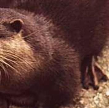 Waitoreke – Giant Otter