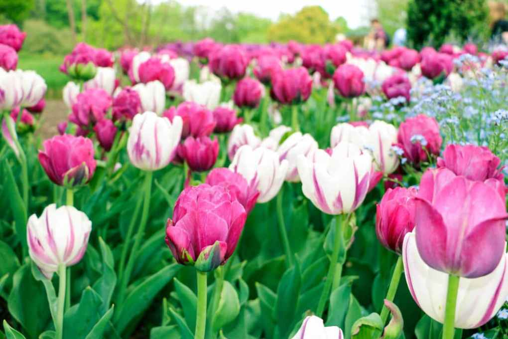 Tulips at Longwood Gardens