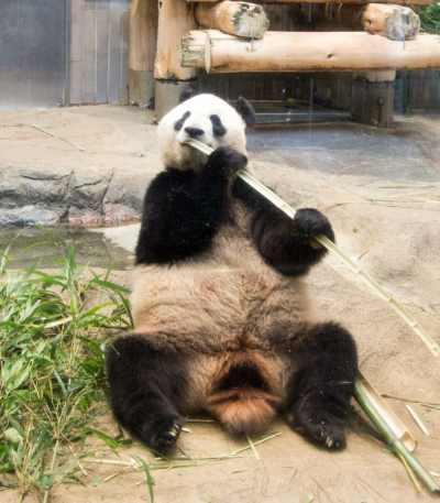 Ueno Zoo panda