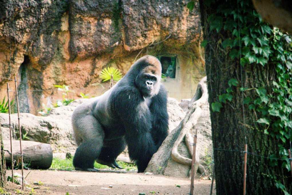 Ueno Zoo gorilla