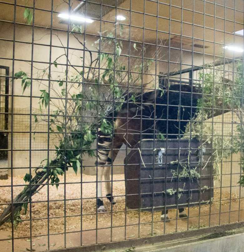 okapi ueno zoo