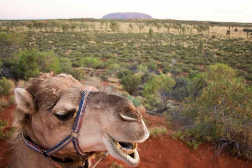 camel ride uluru