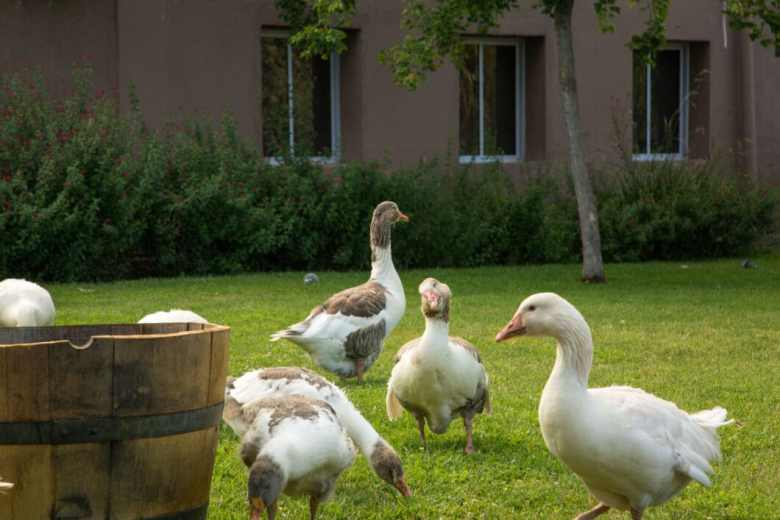 geese at the winery