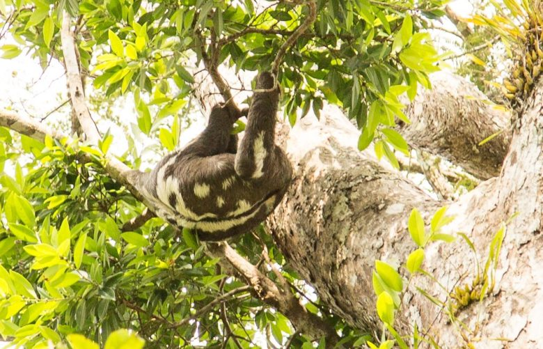 sloth amazon rainforest