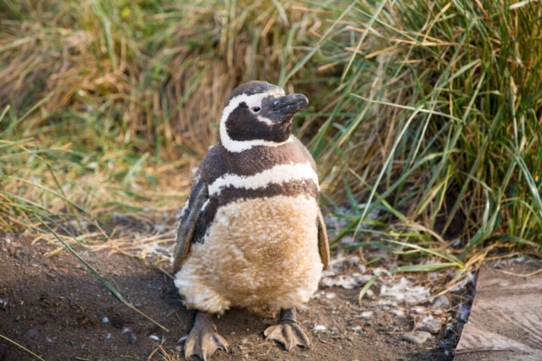 Martillo Island Penguins