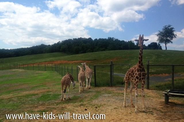 Safari In Va >> Surprising Things We Saw At Virginia Safari Park Have Kids Will