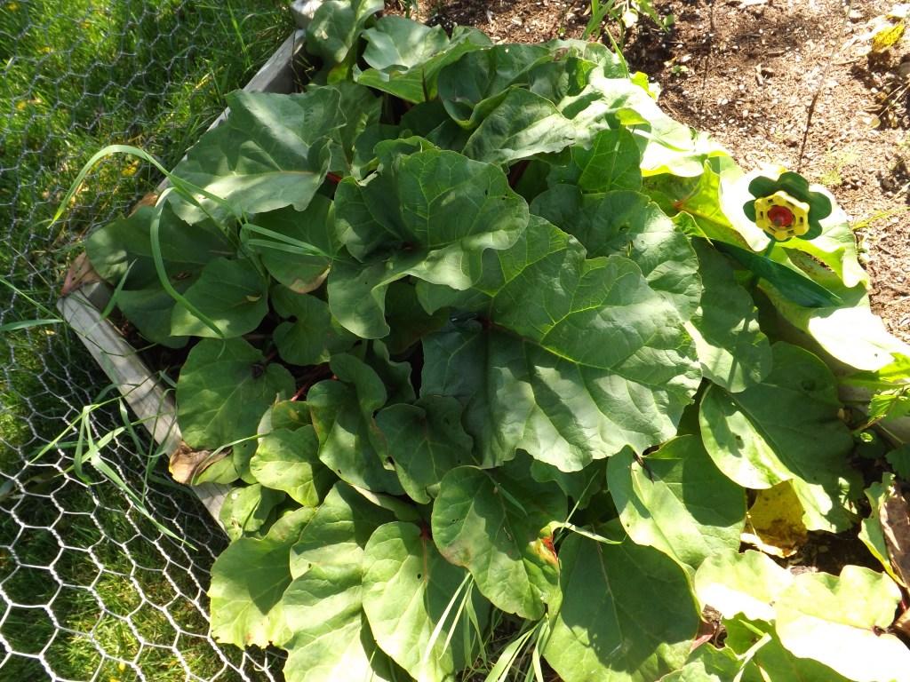 Rhubarb plants 2