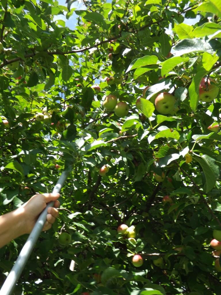 Fruit Picker Rake