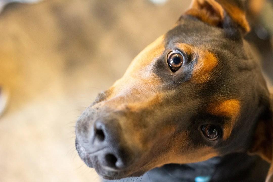Closeup of Jäger the dog looking up into the camera