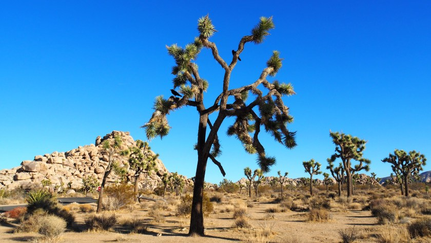 Joshua Trees are odd