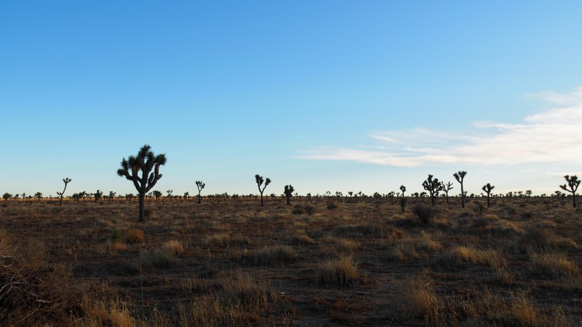 More Joshua Trees