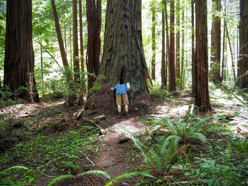 A man sticking his head inside the opening at the base of a coast redwood tree.