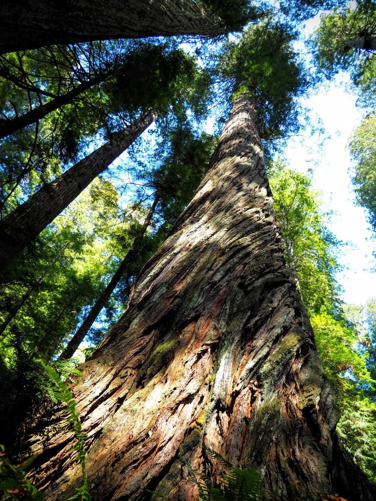 Twisted bark on a coast redwood tree