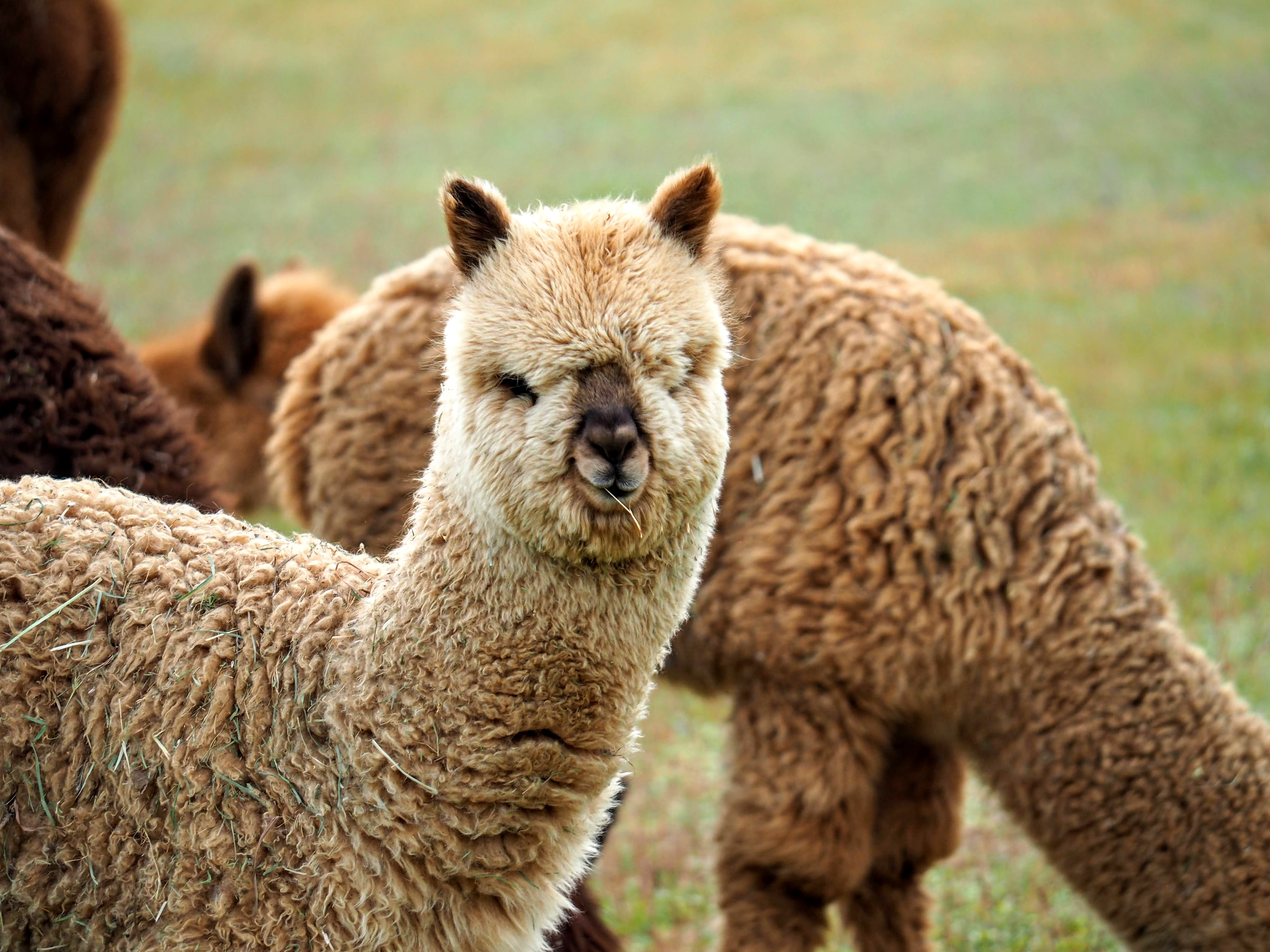 Postcard from Alpacas at Lone Ranch