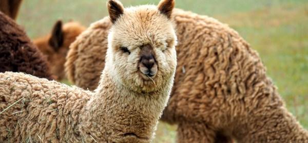 Alpaca with straw