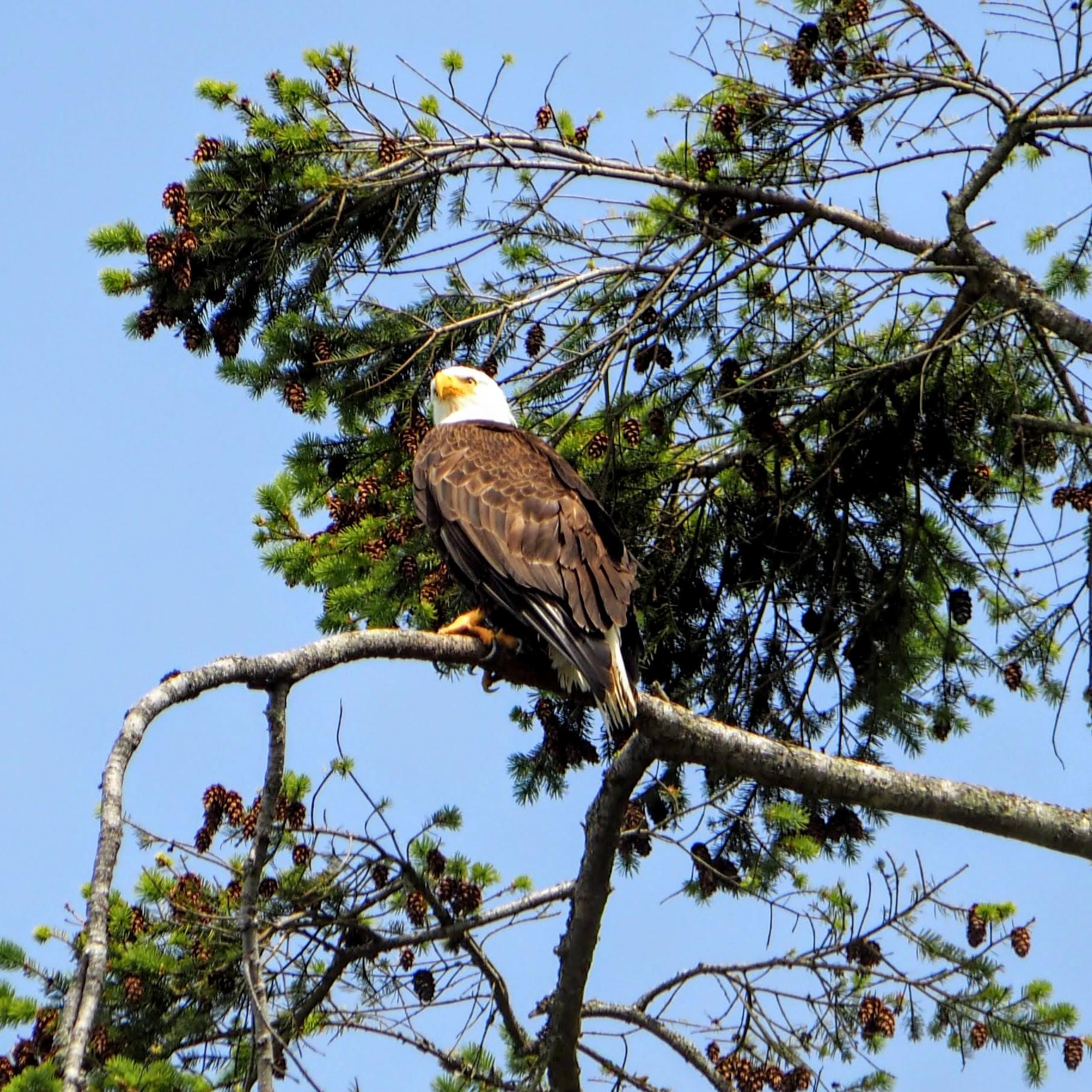The Eagles of Fort Flagler, Washington