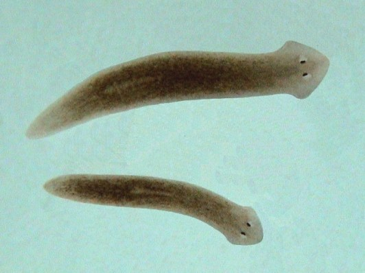 External picture of two Trematodes
