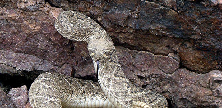 Rattlesnake capture 038