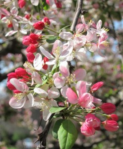 april malus