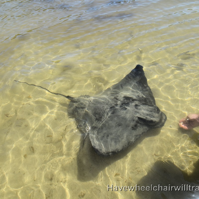 Stingrays at Bendalong Boat Harbour Beach - accessible beach experiences - Have Wheelchair Will Travel