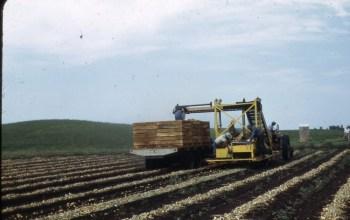 Onion bulb harvest 1950s