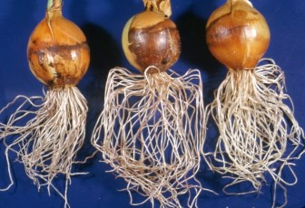 Onion bulbs and roots