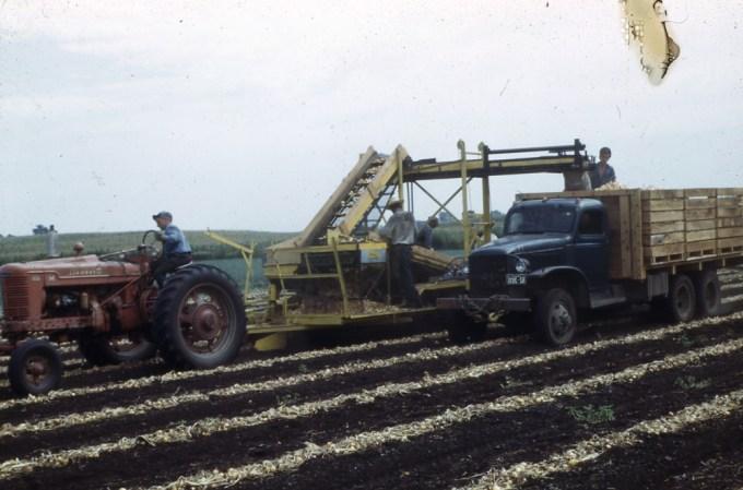 Onion harvest 1950s