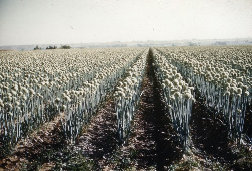 Onion hybrid seed field