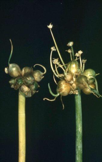 Onion top sets greenhouse 1948