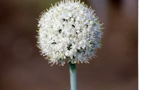 Onion umbel