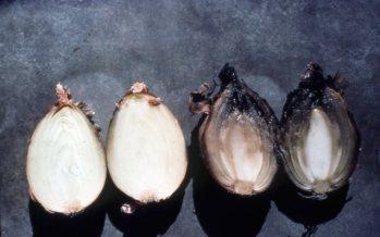 Botrytis neck rot on onion