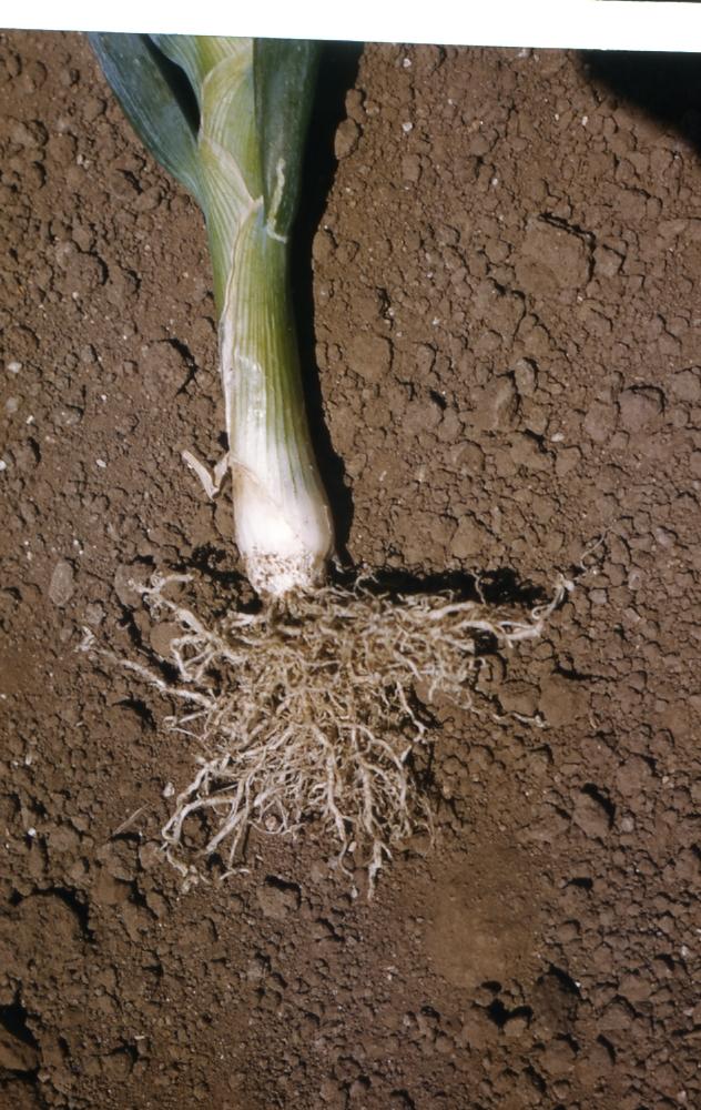 Nematodes on onion roots 1965