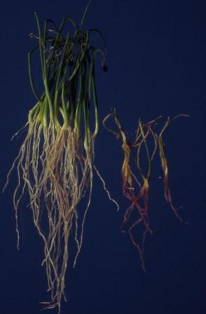 Pink root seedlings Madison 1990