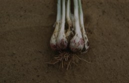 Red scale on white shallot from pink root Crystal City Aprl 1961