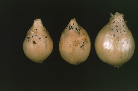 Small sclerotia neck rot on bulbs