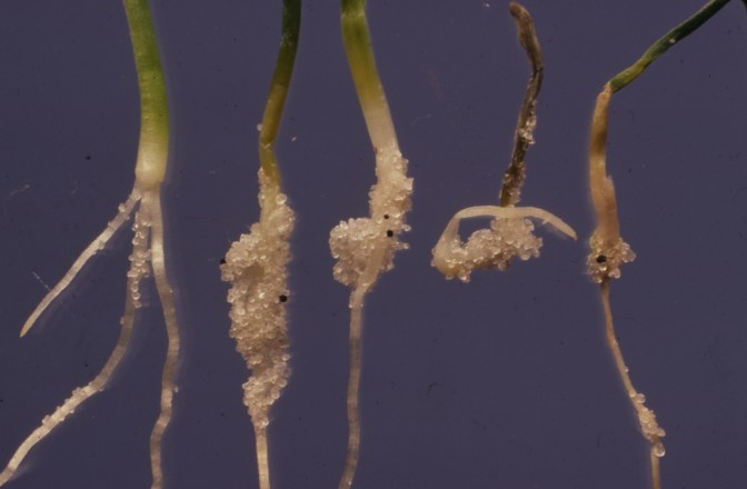 White rot of onion L healthy R 4 seedlings grown in clerotia infested sane