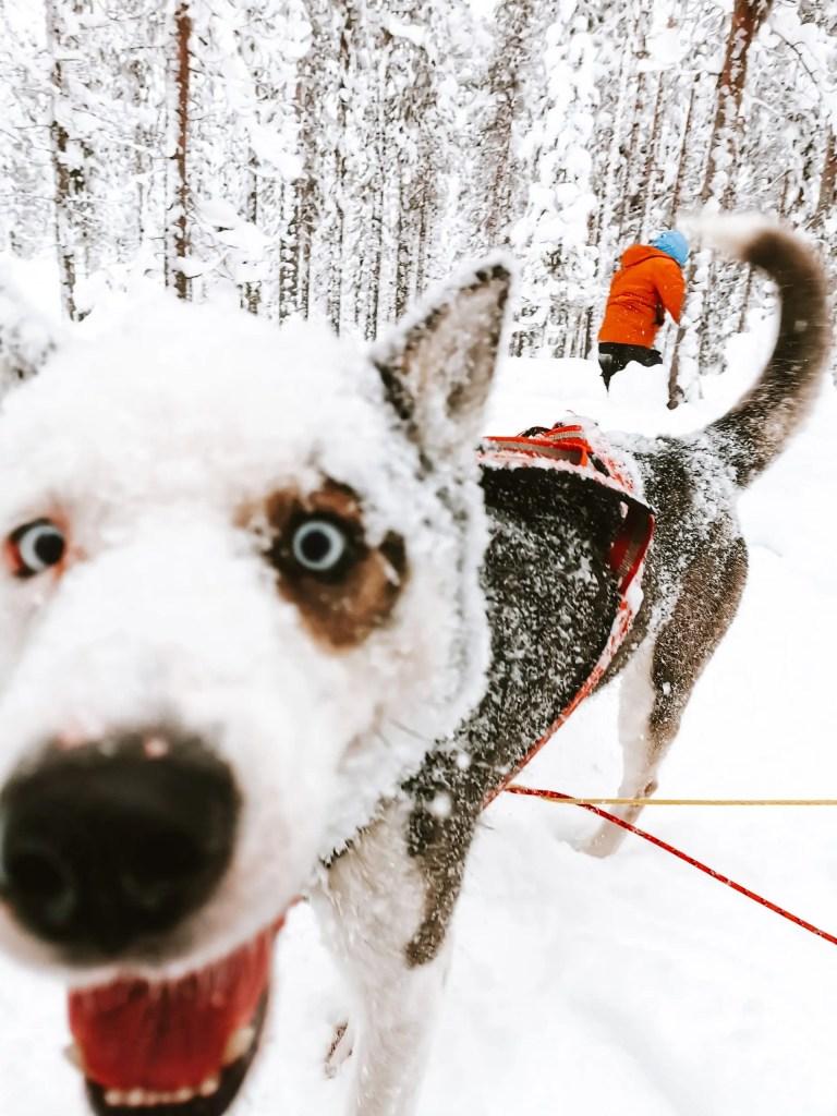 A husky dog during dog sledding in Jokkmokk in Swedish Lapland.