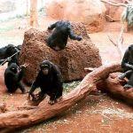 えー、ホノルル動物園でチンパンジーが脱走??