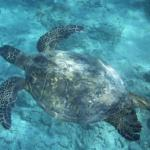 Hanauma Bay Schildkröte