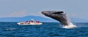 Wale beobachten Hawaii