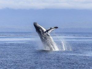 buckelwal-auf-hawaii-s